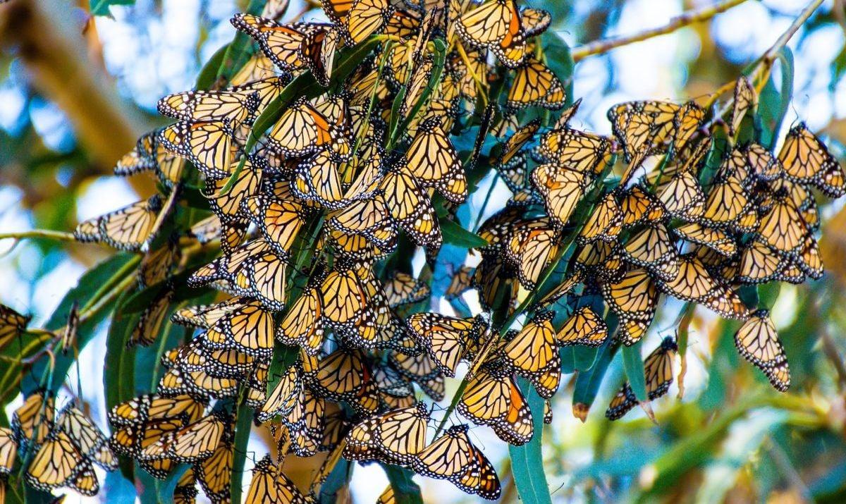 eucalyptus monarch butterfly