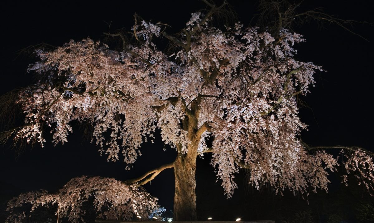 An ancient cherry tree lit up for the night in Maruyama Park, Kyoto.