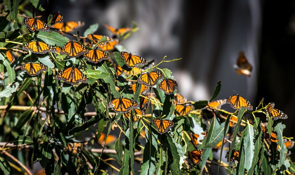 Swarm of Monarch butterflies taking a break on their annual migration to warmer climates.