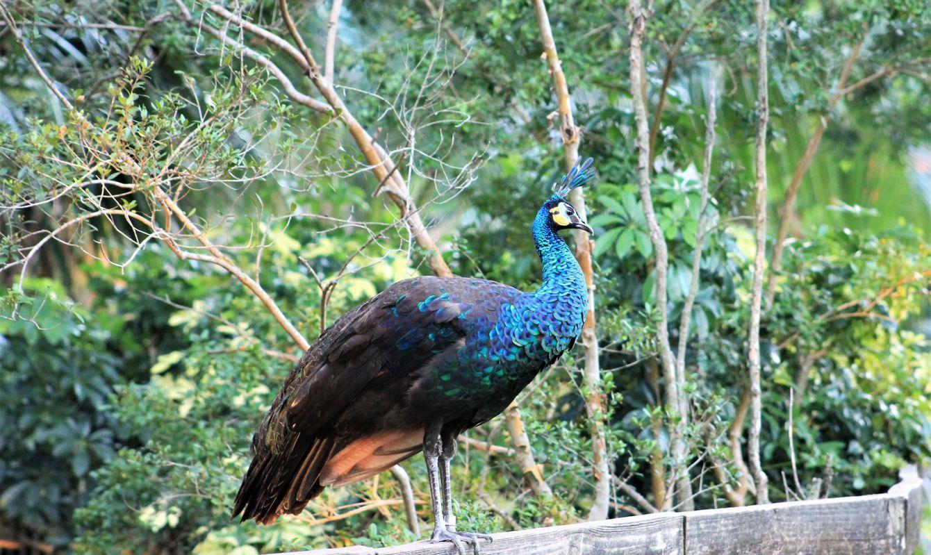 Peacock standing on a fence, Busch Gardens, Florida, USA.