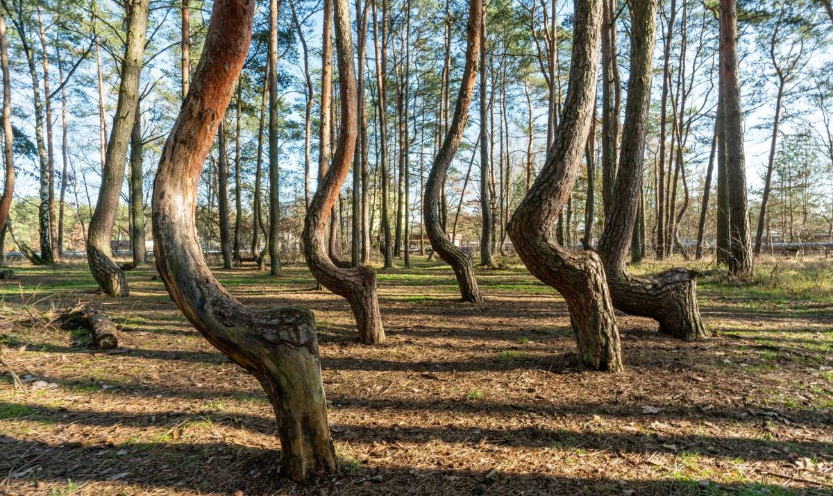 Angled tree trunks in The Crooked Forest near Gryfino in Poland.