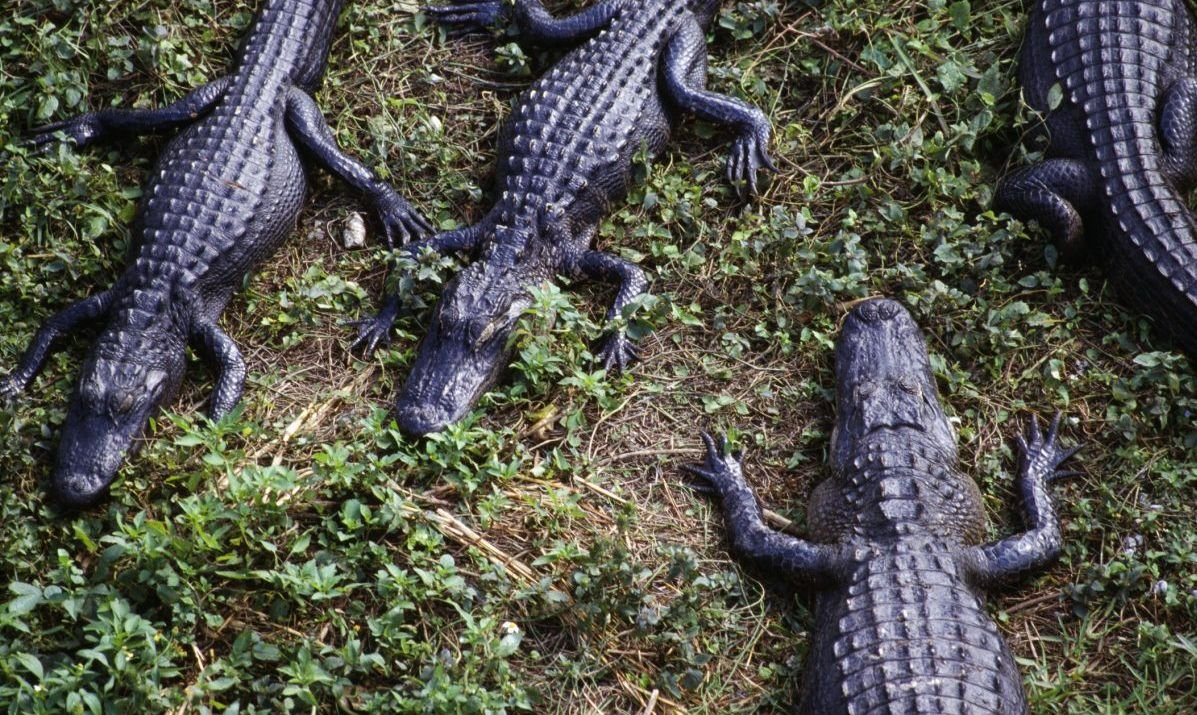 A group of gators