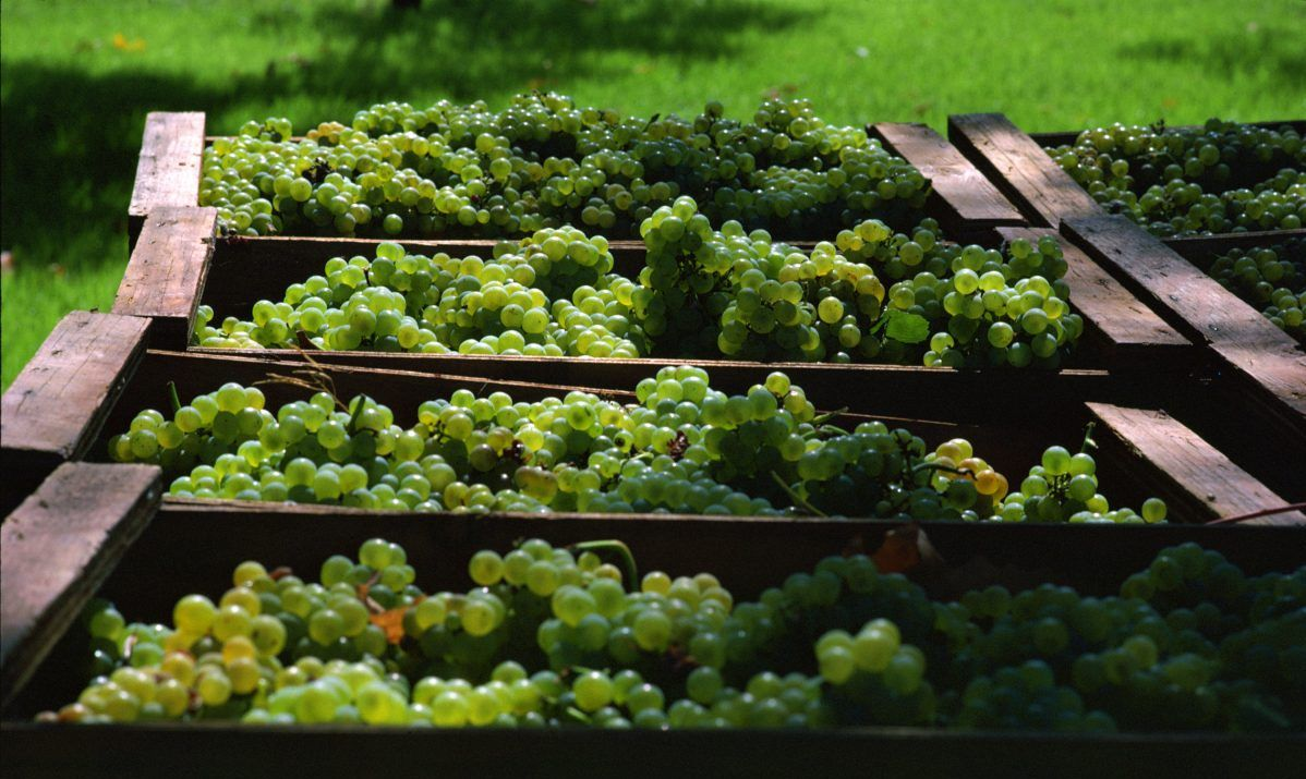 Learn about vineyard and farm agriculture at Cannolly Ranch in Napa Valley.