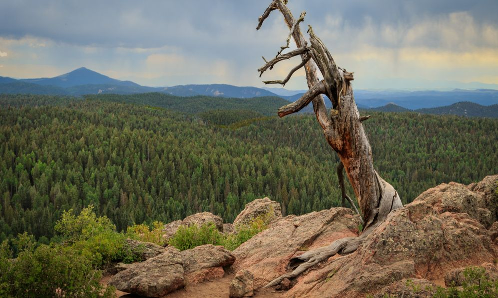An old dead tree on top of a Grouse Mountain in Colorado's Mueller State Park.