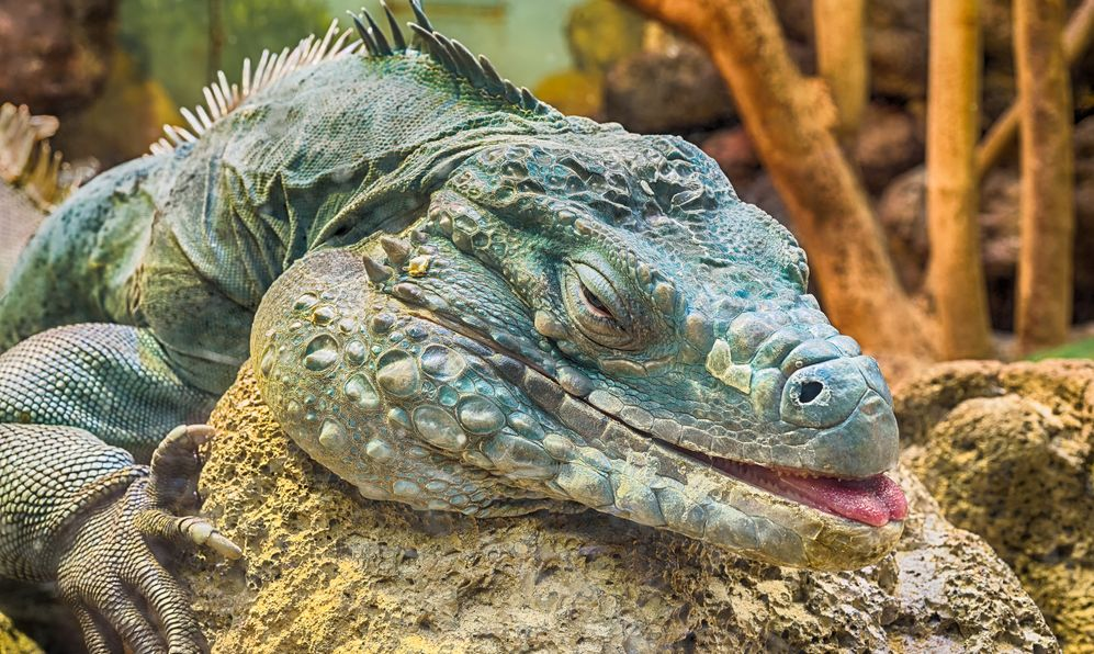 Close up of a Grand Cayman (a.k.a. Blue, Cyclura lewisi) iguana resting on a rock at the Smithsonian National Zoo.