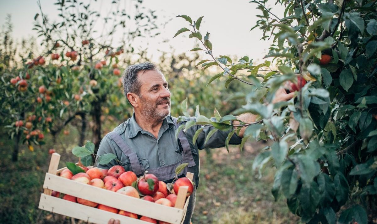 Man picking apples at an orchard