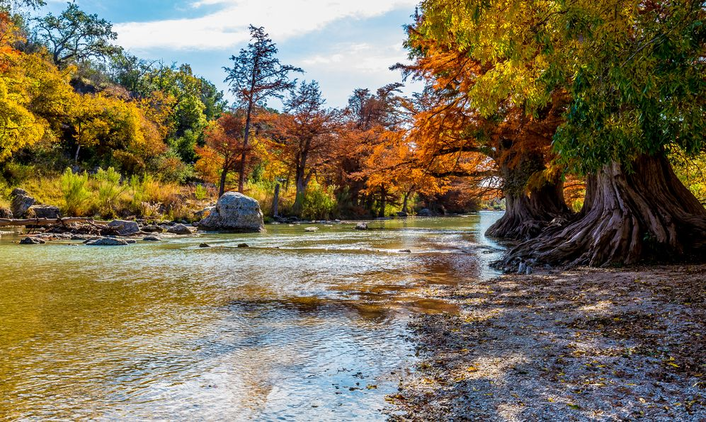 Colorful Fall Foliage of Entwined Cypress Trees Surrounding the Guadalupe River at Guadalupe State Park, Texas