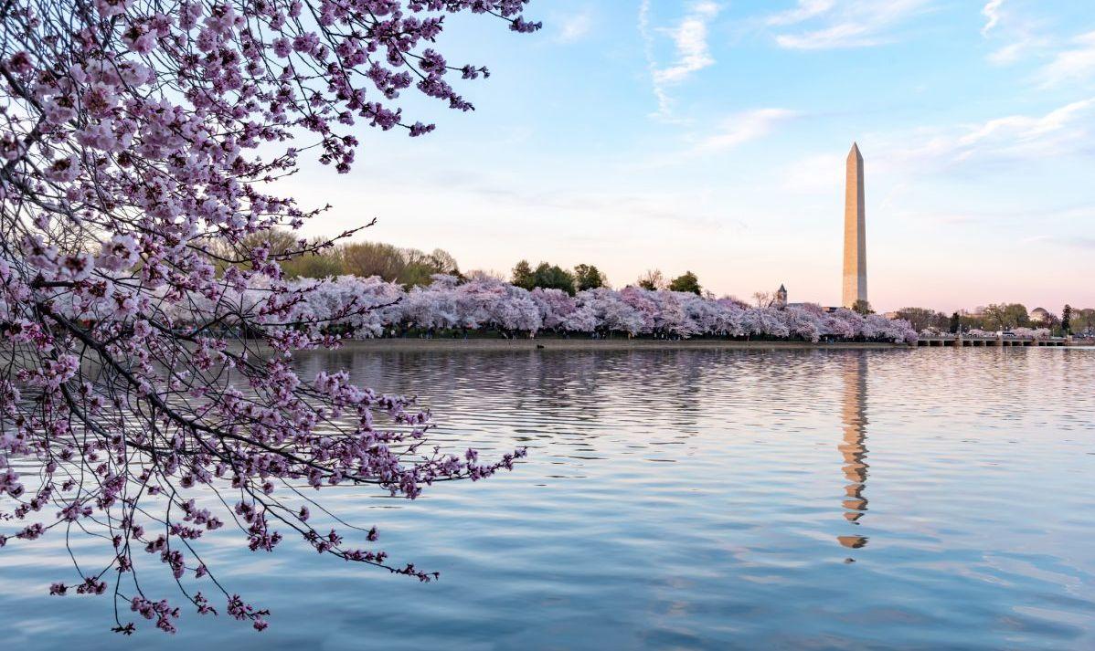 washington dc blossoms monument