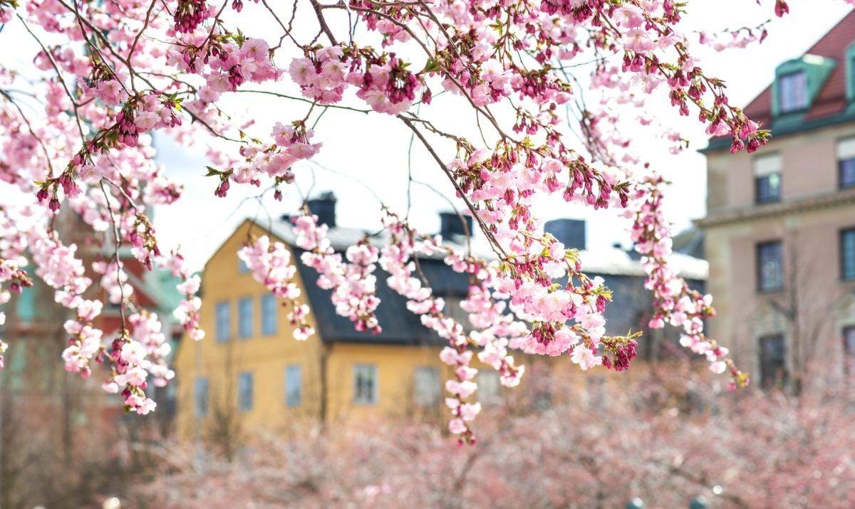 cherry blossom sweden buildings