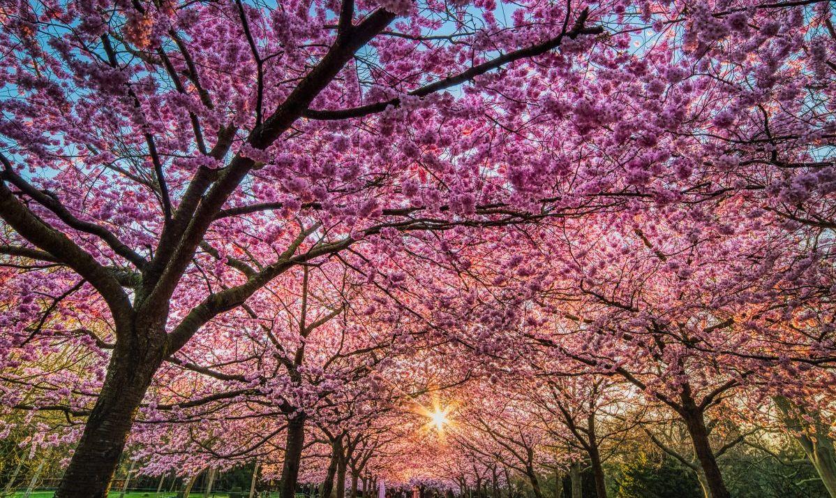 canopy blossoms copenhagen