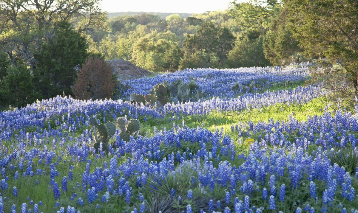 hill country park bluebonnets
