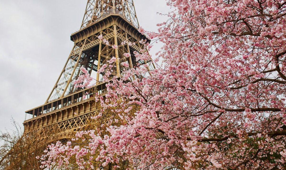 eiffel tower blooming cherry tree