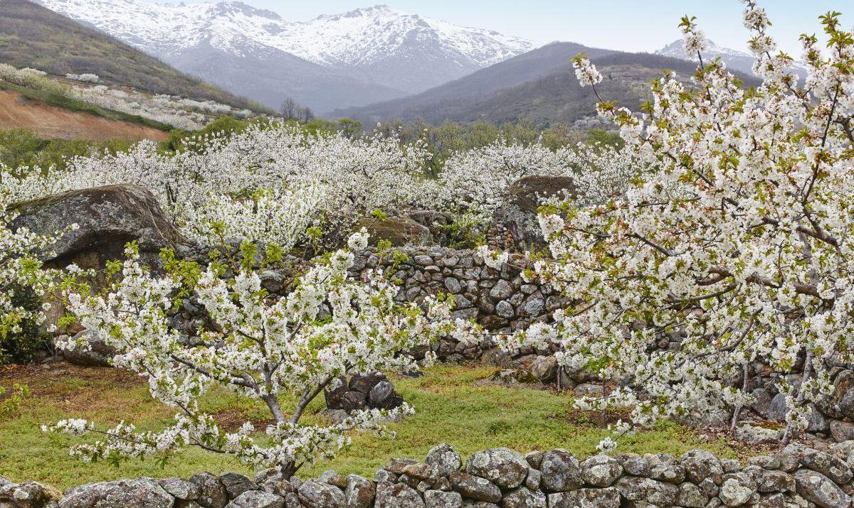 white blossoms jerte valley