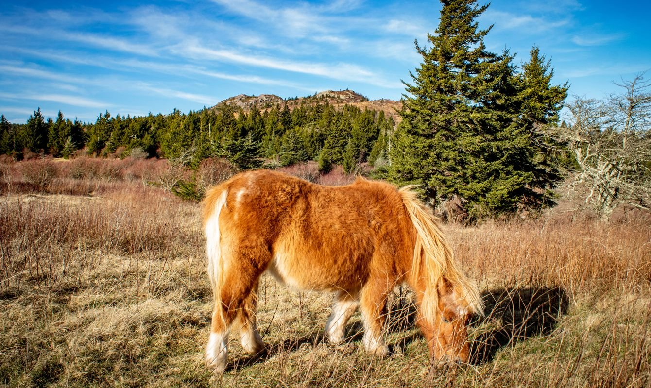 Wild pony grazing at Grayson Highlands