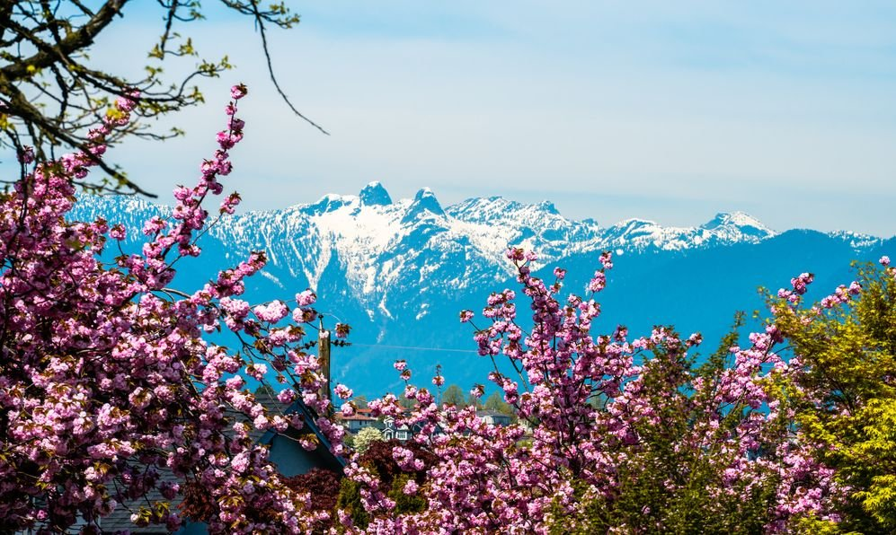 Vancouver Cherry blossoms with lions mountains backgrounds