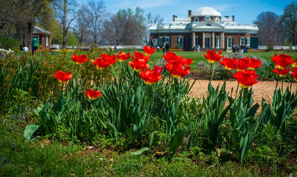 Red Tulip flowers in the lawn, with Thomas Jefferson's Monticello building in the upper right.