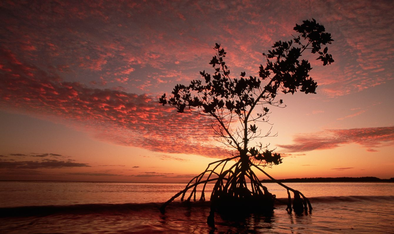 A silhouetted tree with exposed roots against a cloudy sky glowing at sunset, Everglades National Park, Florida.