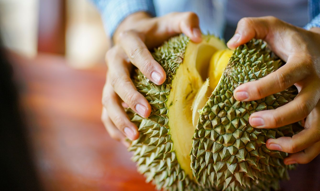 Close up male barehanded is stripping fresh Durian fruit from plantation