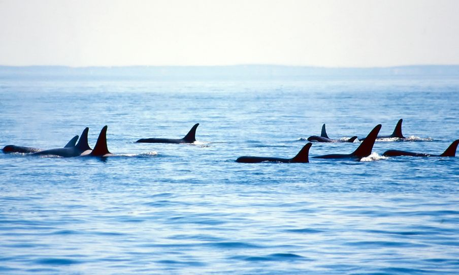 pod of orca whales swimming in puget sound, washington
