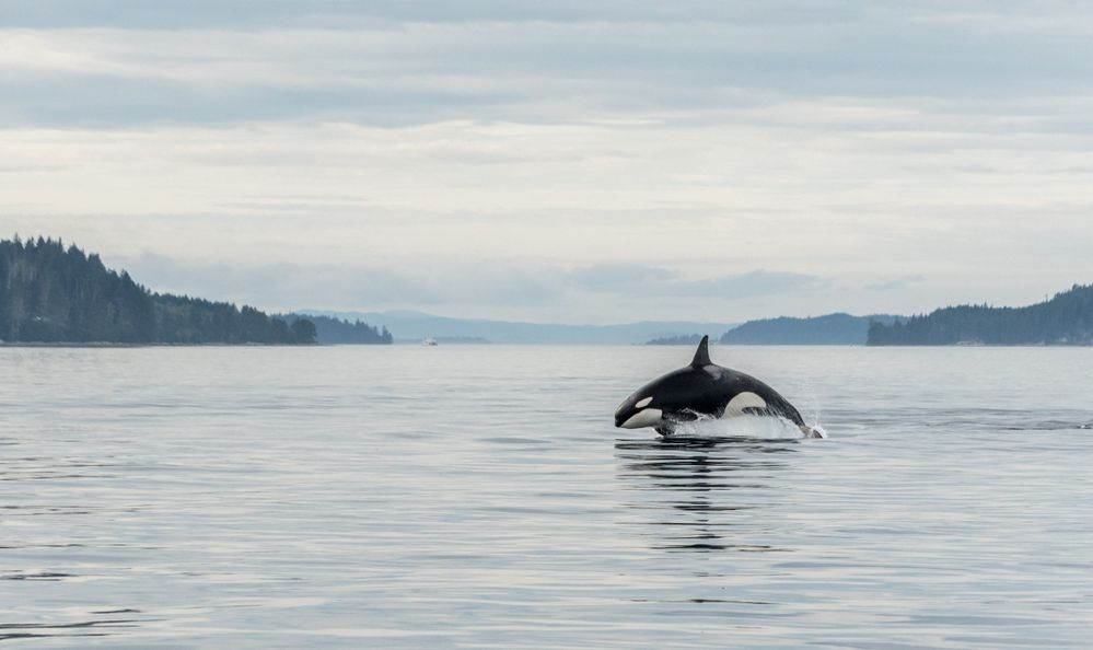 orca whale jumping in Johnstone Strait, British Columbia