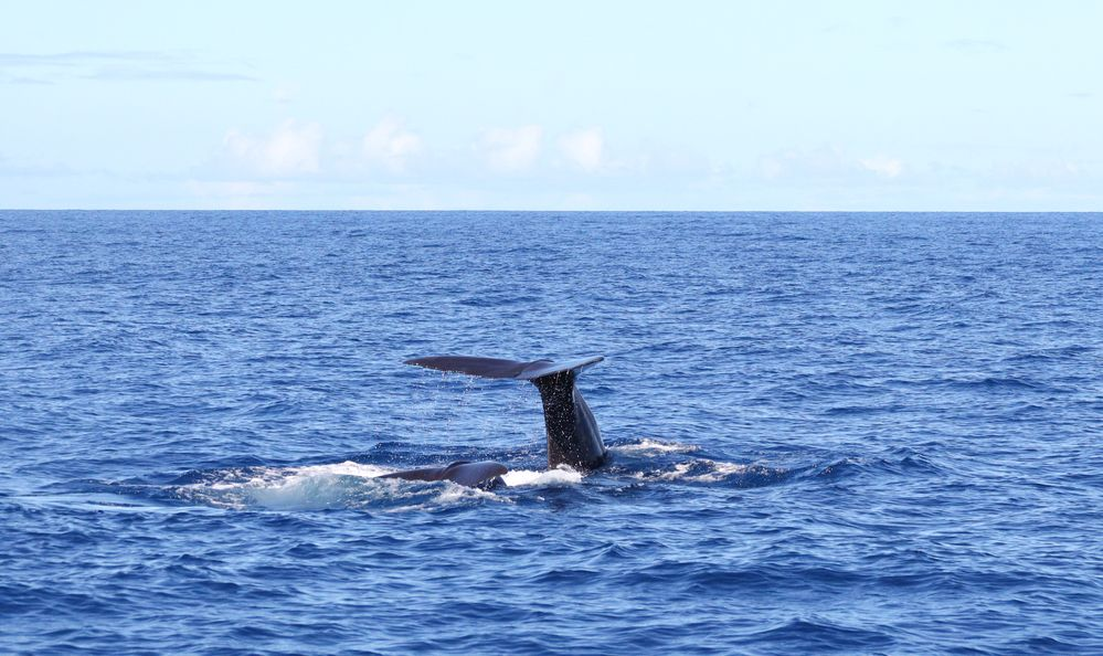 tail of a whale diving off the coast of Dominica