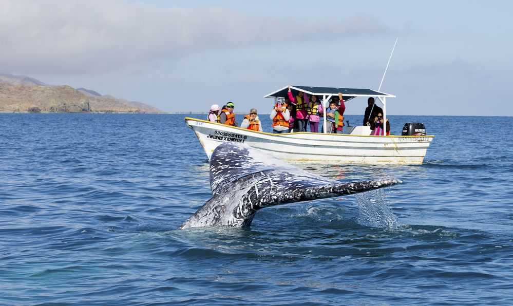 blue whale tail and whale waters in baja california, mexico