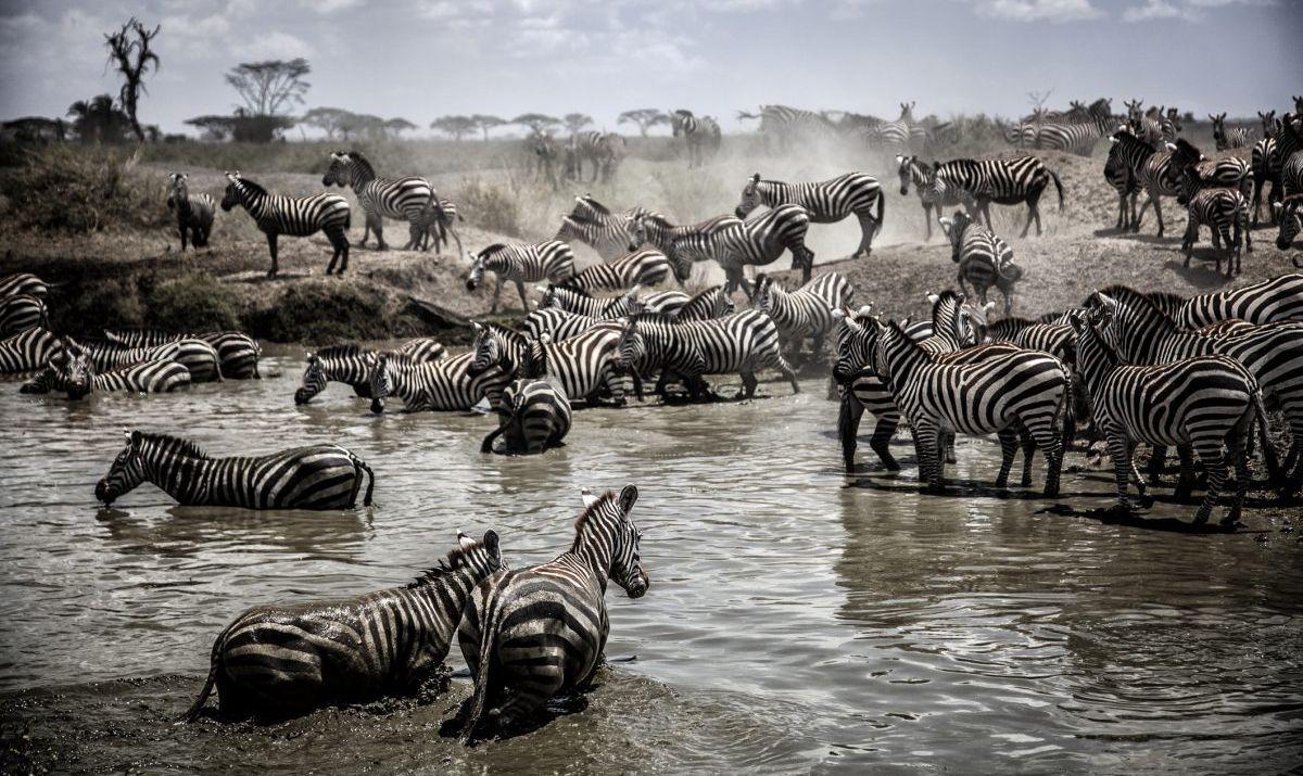 Hundreds Of Zebra Running Through Serengeti Swamp