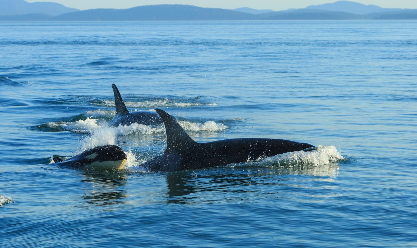 Surfacing resident orca whales (Orcinus orca) at Boundary Pass, border between British Columbia Gulf Islands Canada and San Juan Islands, WA.
