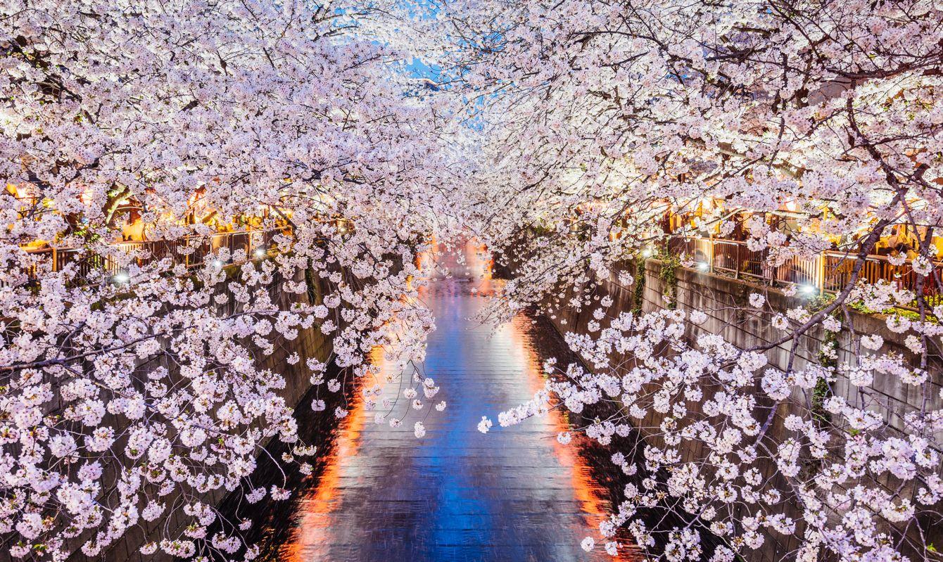 Cherry blossoms season in Tokyo, Japan
