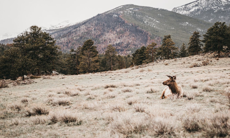 Elk in a field in Estes Park, CO, USA