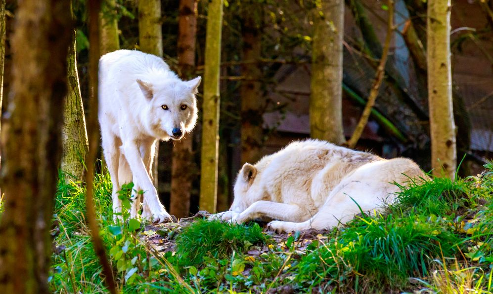 Two gray wolves hanging out in the woods.