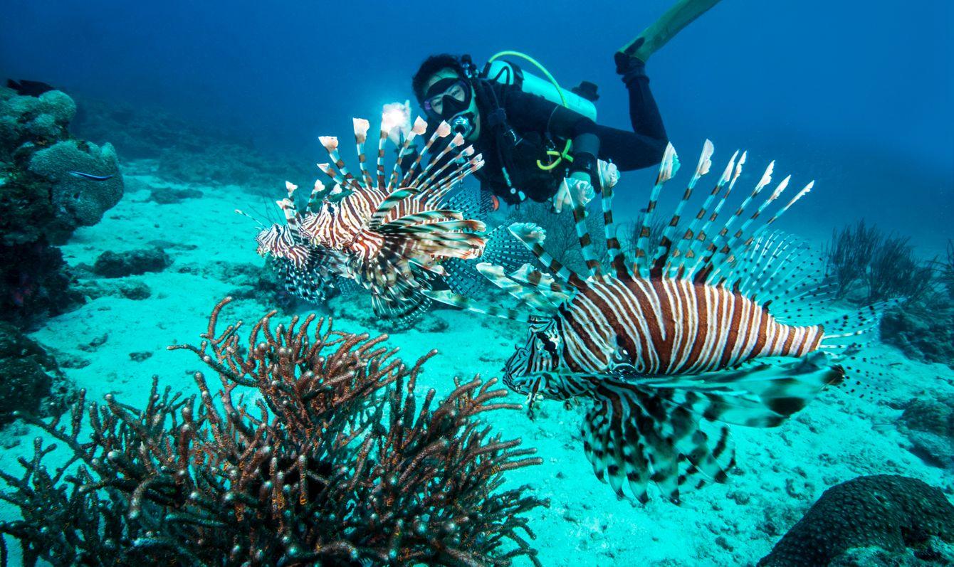 Indian Lionfish, Pterois miles, Scorpaenidae, Myanmar, Andaman Sea, Indian Ocean