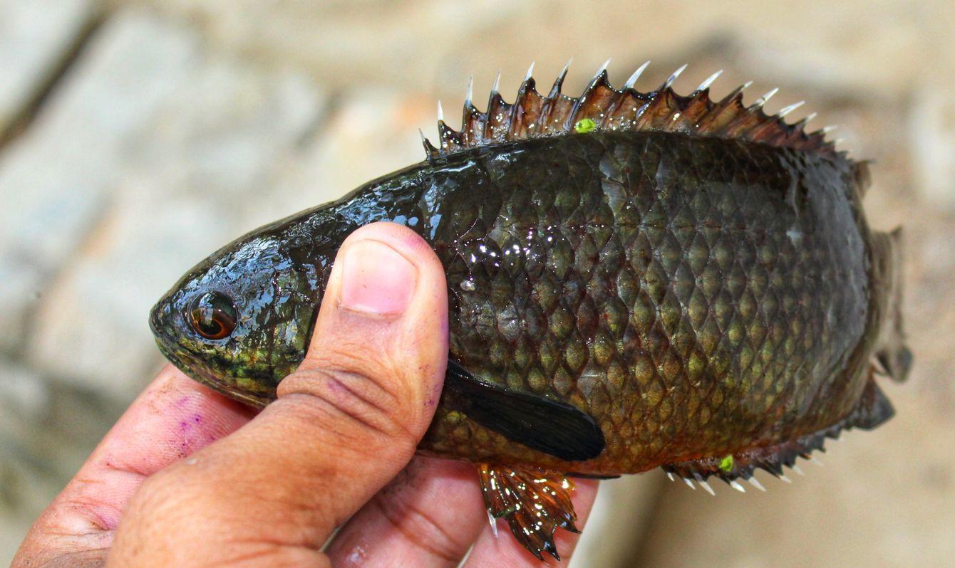 Anabas fish climbing perch fish