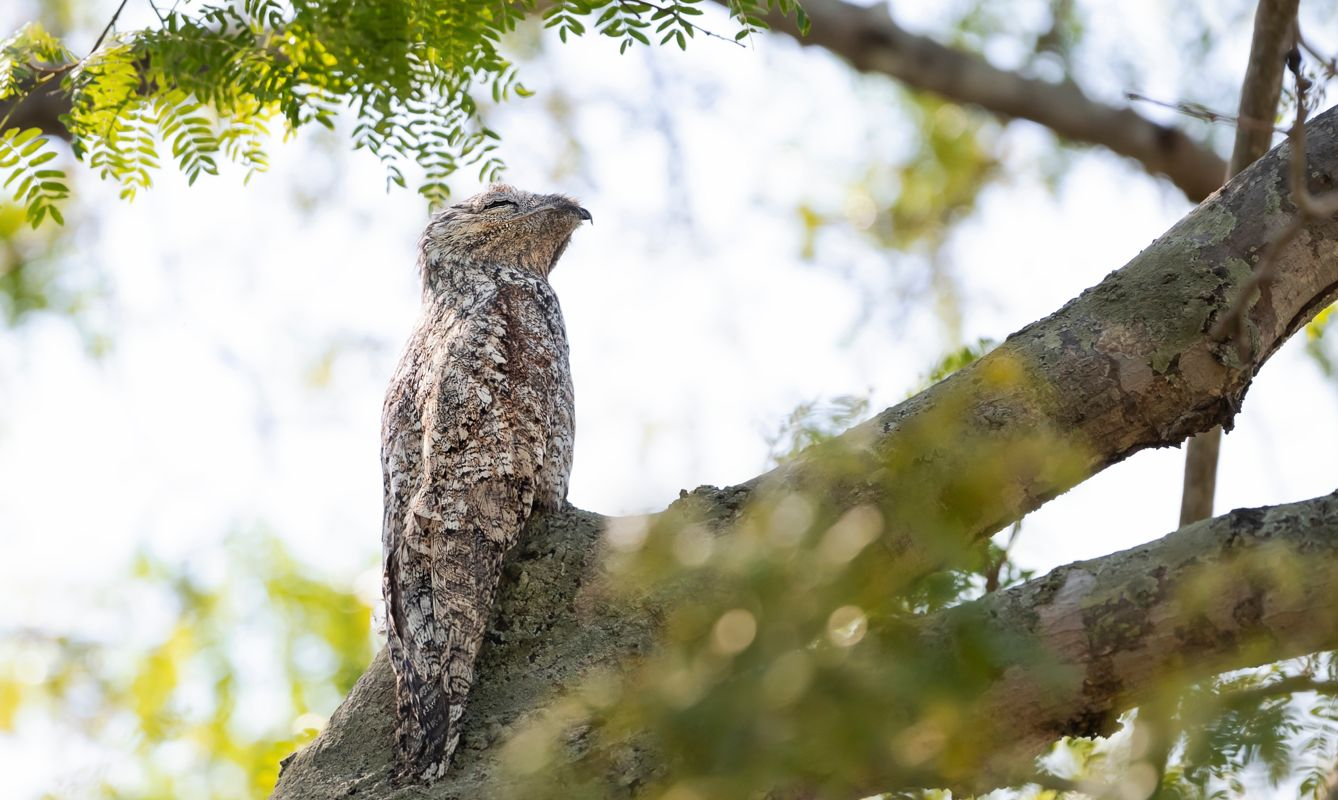 Close up of a great potoo perched in a tree, Pantanal, Brazil.