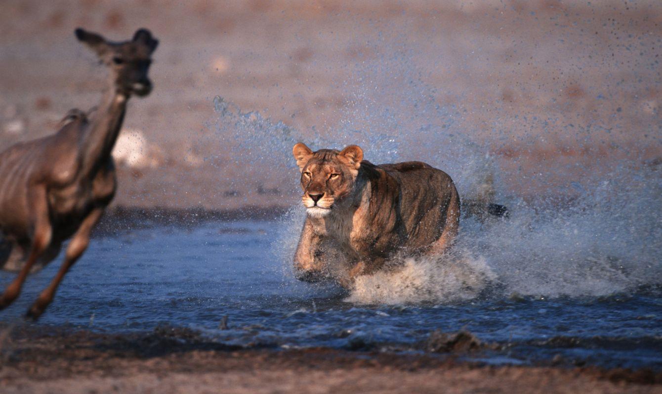 Lioness, attacking kudu prey. Etosha national park. Namibia.