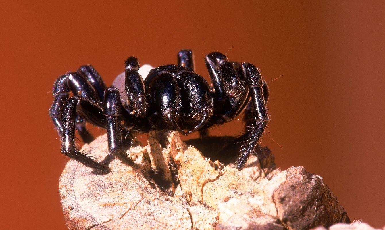 Funnel-web spider (Atrax robustus), Australia