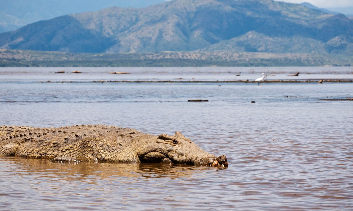 A crocodile basks in the shallows of Lake Chamo, at Nechisar National Park in southern Ethiopia.