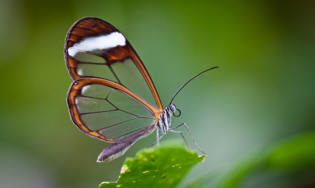 A Glass Wing Butterfly on a Leaf