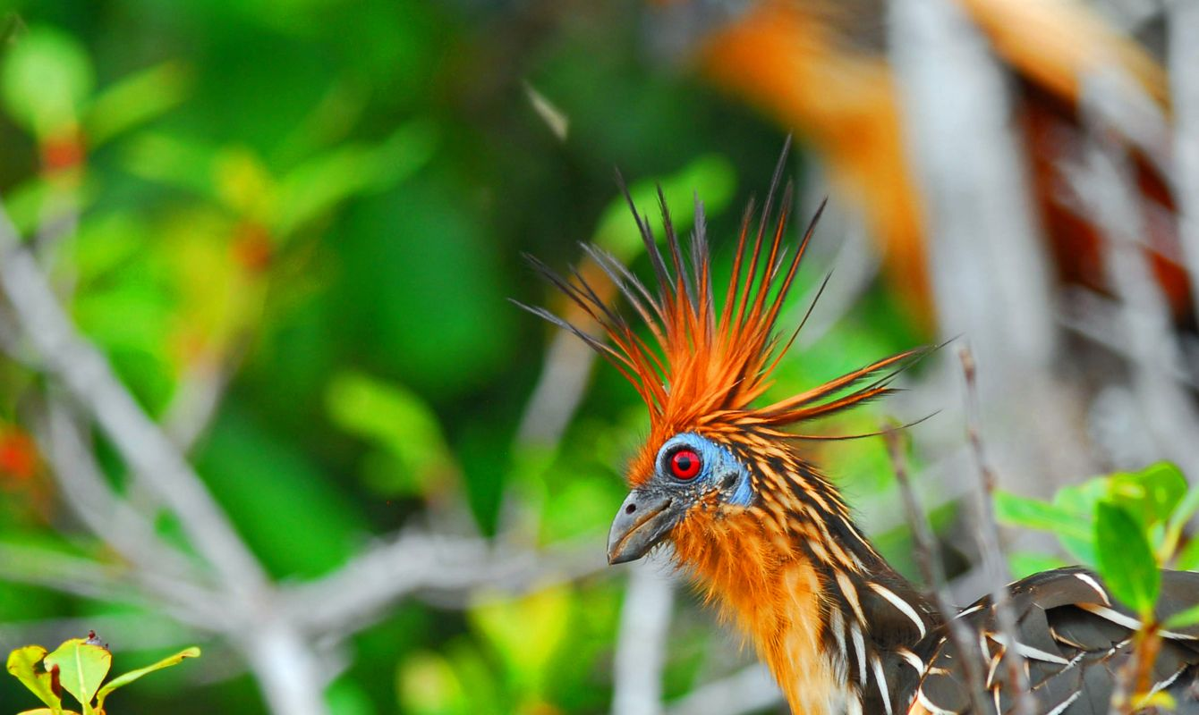 The Hoatzin or Stinkbird, in the Ecuadorian Amazon.