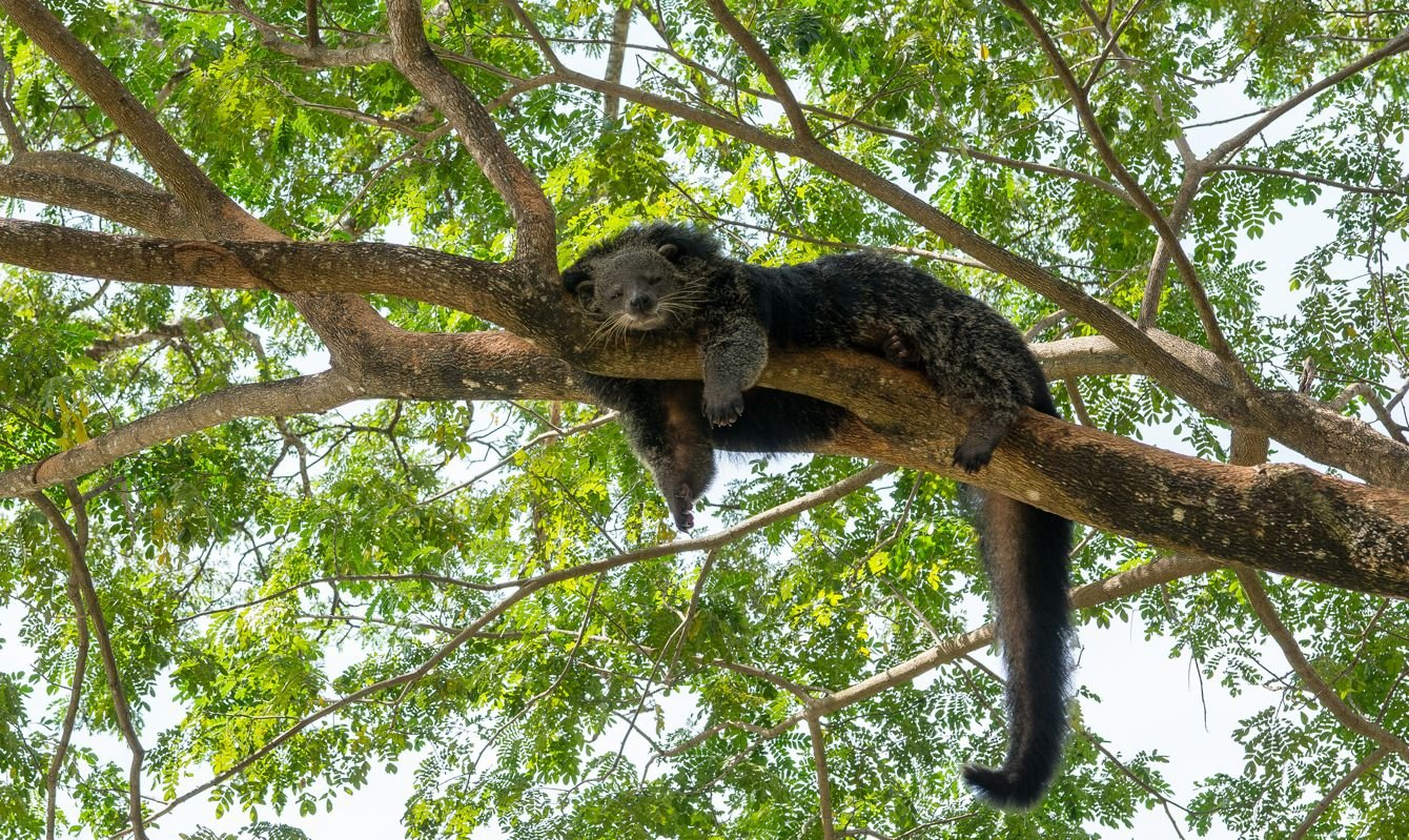 Lazy bearcat sleeping on the tree. green leaf background.