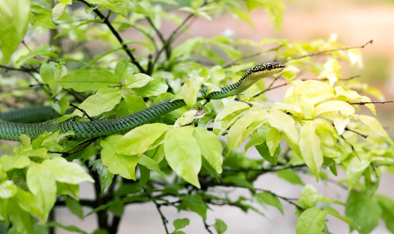 Golden tree snake on leave of tree