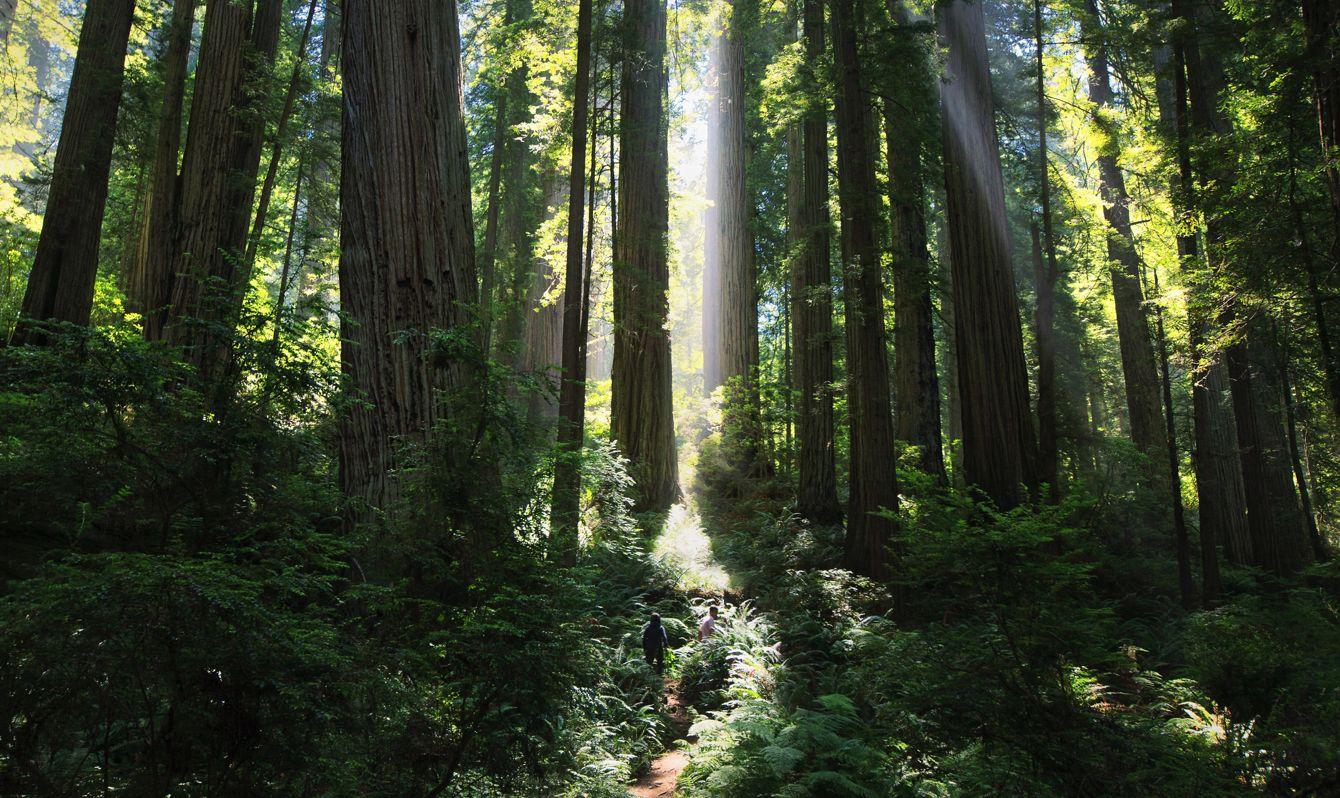 The morning sun shines through Del Norte Coast Redwoods SP