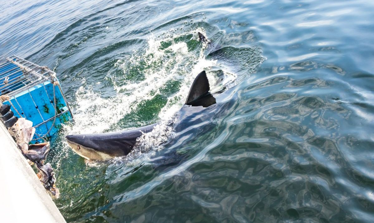 Great White Shark (Carcharodon carcharias) cage diving, Seal Island, Mossel Bay, South Africa