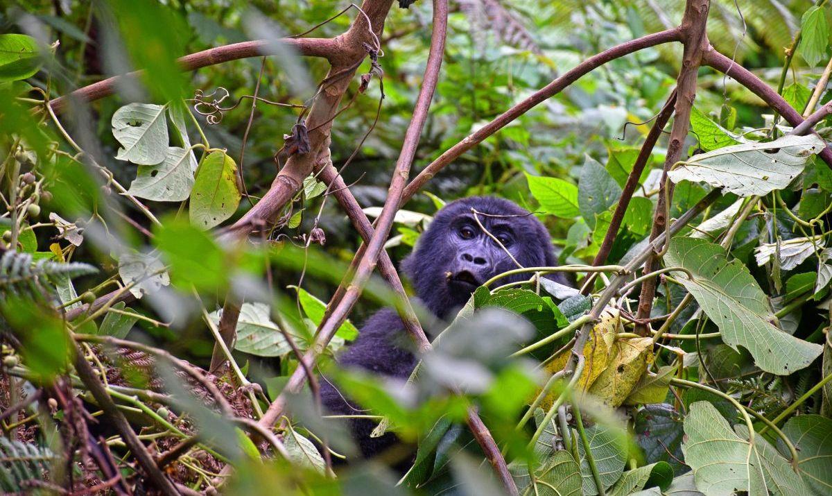 Gorillas in leaves