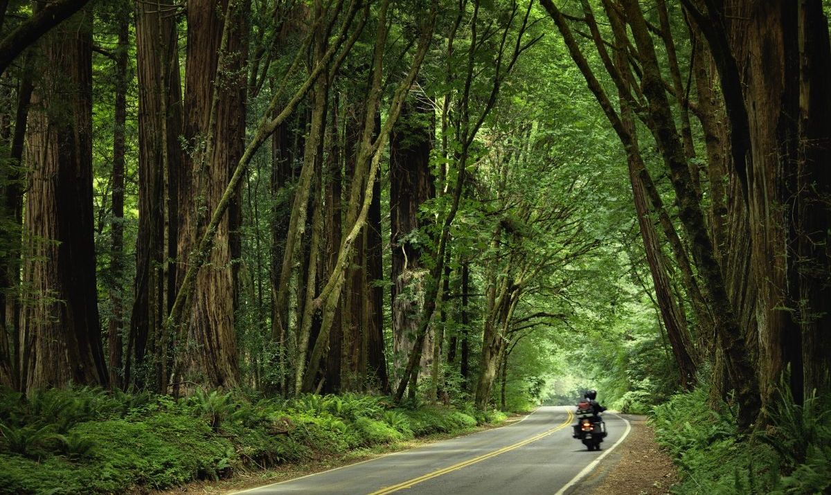 Road with redwoods