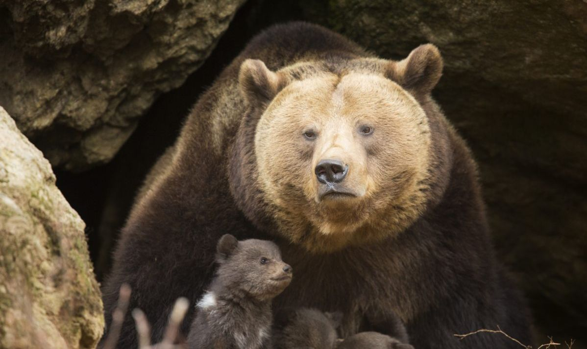 Bear in cave with cub