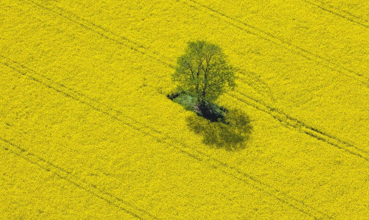 Fields of Rapeseed plants with their yellow canola flowers in bloom in China