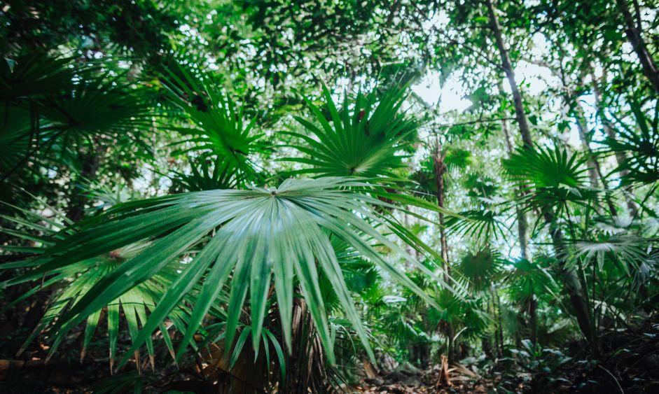 Chit palms in the Sian Ka'an national park, Yucatan, Mexico